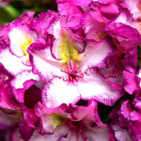 Närbild Blomma på Rhododendron Happydendron 'Pushy Purple'
