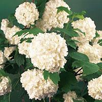 Närbild på blomma av snöbollsbuske 'Roseum'