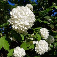 Närbild på blomma hos Snöbollsbuske
