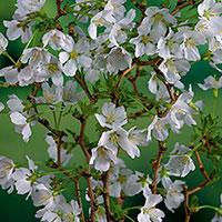 Närbild på blommor av dvärgkörsbär 'Kojou-no-mai'
