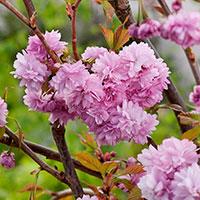 Närbild blommor på prydnadskörsbär 'Kiku-Sidare-Zakura'