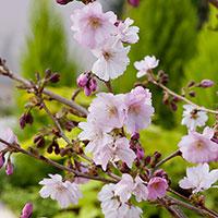 Närbild på blommor hos prydnadskörsbär 'Accolade'