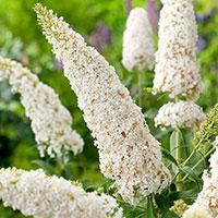 Närbild på blommor buddleja 'White Profusion'