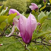 Rosa blomma, Magnolia 'Susan'