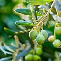 Olivfrukt på träd