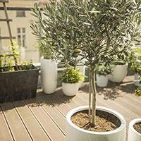 Olivträd på balkong