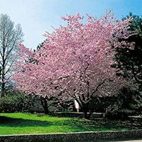 Prydnadskörsbär, Prunus 'Accolade'