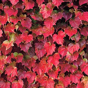 Rådhusvin med röda höstfäger på bladen