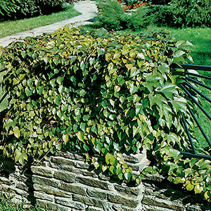 Rådhusvin Parthenocissus tricuspidata Veitchii