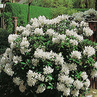 Rhododendron 'Cunningham's White' 50-60cm
