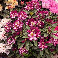Pushy Purple, rhododendron på utsällning Chelsea Flowershow