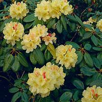 Rododendron med gula blommor