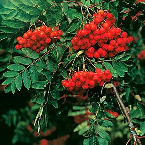 Rönnbär på rönnbärsträd