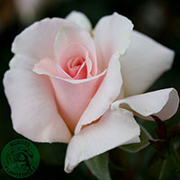 Ros 'A Whiter Shade of Pale', 10-pack-Rosa 'A Whiter Shade of Pale'