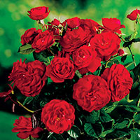 Ros 'Carl Philip', 5-pack-Rosa 'Carl Philip'