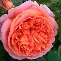 Ros 'Chippendale', 10-pack-Rosa 'Chippendale'