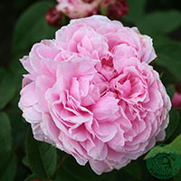Ros 'Jacques Cartier', 5-pack-Rosa 'Jacques Cartier'