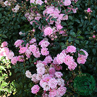 Ros 'The Fairy', 10-pack-Rosa 'The Fairy'