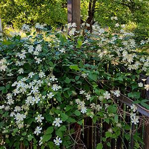 Skogsklematis planterad mot staket