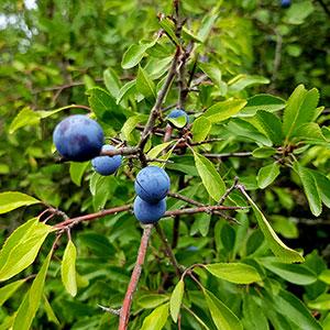 Slånbärsbuske med blå bär