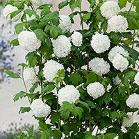 Snöbollsbuske 'Roseum',  Viburnum opulus Roseum