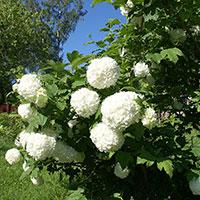 Snöbollsbuske i blom