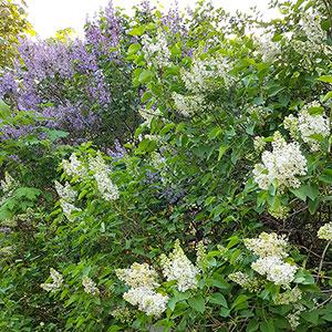 Syrenhäck med lila och vita blommor
