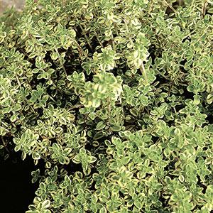 Citrontimjan, 5-pack-Thymus Citridorus, Citrontimjan 'Aureus'