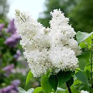Vit bondsyren, Syringa vulgaris alba