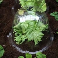 Odlingsklocka King Size Victorian Bell, 2-pack-Odlingsklocka för drivning av växter