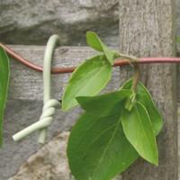 Slim Soft-Tie tråd för uppbindning av växter