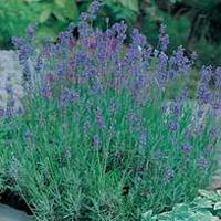 Lavendel LAVENDER Munstead Strain-Frö till Lavendel