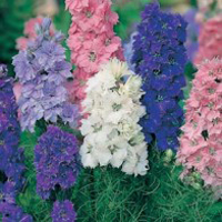 Romersk Riddarsporre LARKSPUR Dwarf Hyacinth Flowered-Frö till Romersk Riddarsporre