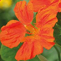 Frö till Indiankrasse 'Whirlybird Tangerine', Tropaeolum majus