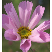 Rosenskära COSMOS Hummingbird Pink#-Frö till Rosenskära COSMOS Hummingbird Pink