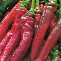 Chili PEPPER (Sweet) Doux trés long des Landes-Frö till Chili Pepper (Sweet) Doux trés long des landes