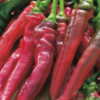 Chili PEPPER (Sweet) Doux trés long des Landes-Frö till Chili Pepper (Sweet) Doux trés long des landes