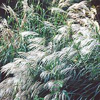 Glansmiskantus, Silver Grass