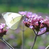 Jätteverbena med fjäril