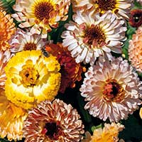 Ringblomma 'Playtime Mixed'