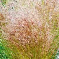 Svansfjädergräs, Stipa tenuissima
