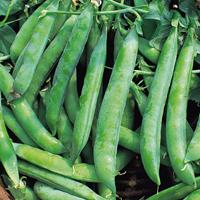 Ärta Kelvedon Wonder, organic-Ekologiskt frö till Ärta Kelvedon Wonder
