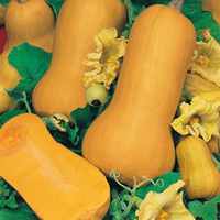 Butternutsquash Waltham Winter, organic-Ekologiskt frö till Butternutsquash Waltham Winter
