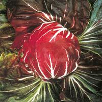 Chicorysallad Palla Rossa, organic-Ekologiskt frö till Chicorysallad Palla Rossa