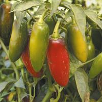 Chilipeppar Early Jalapeno, organic-Ekologiskt frö till Chilipeppar Early Jalapeno