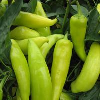 Chilipeppar Hungarian Wax, organic-Ekologiskt frö till Chilipeppar Hungarian Wax