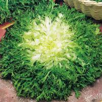 Endiv Pancalieri, organic-Ekologiskt frö till Endiv Pancalieri