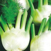 Fänkål Romanesco, organic-Ekologiskt frö till Fänkål Romanesco