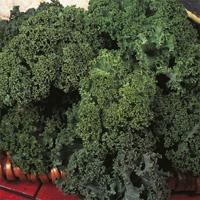 Grönkål Westland Winter, organic-Ekologiskt frö till Grönkål Westland Winter