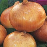 Gul lök Sturon, organic-Ekologiskt frö till Gul lök Sturon